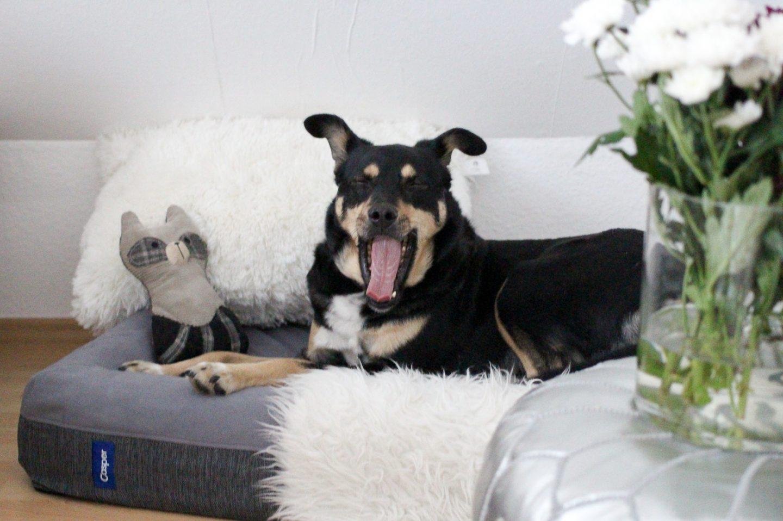 Hündische Träume: Die Suche nach dem perfekten Hundebett